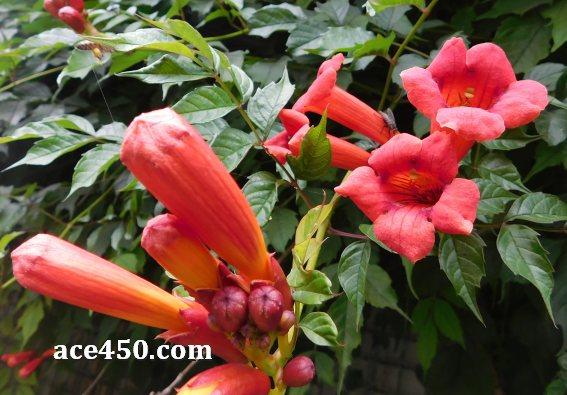 Кампсис укореняющийся Флорида или Campsis radicans 'Florida'- вьющееся многолетнее лиственное растение семейства Бигониевые.